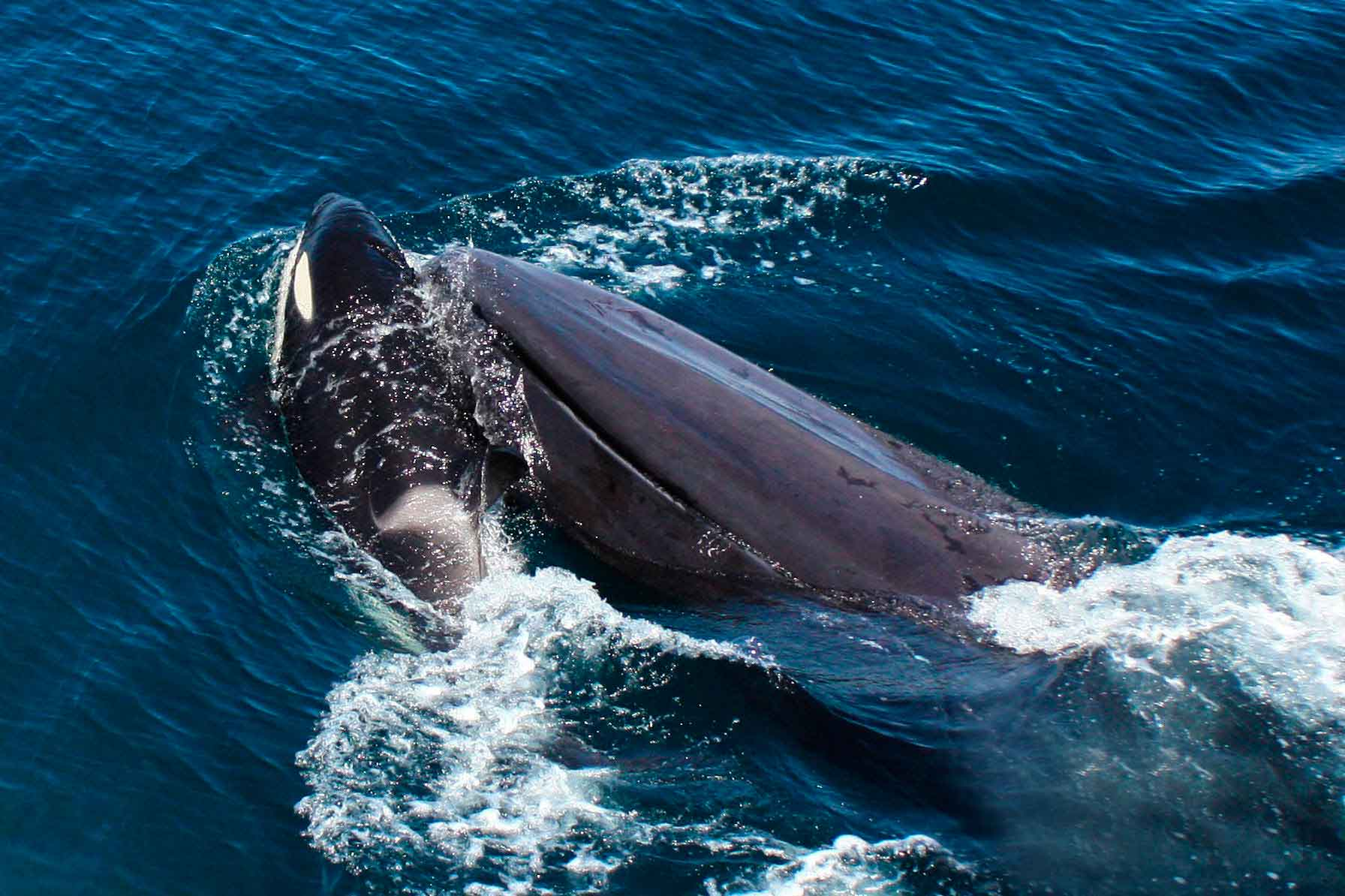 Синий кит дерется с косаткой