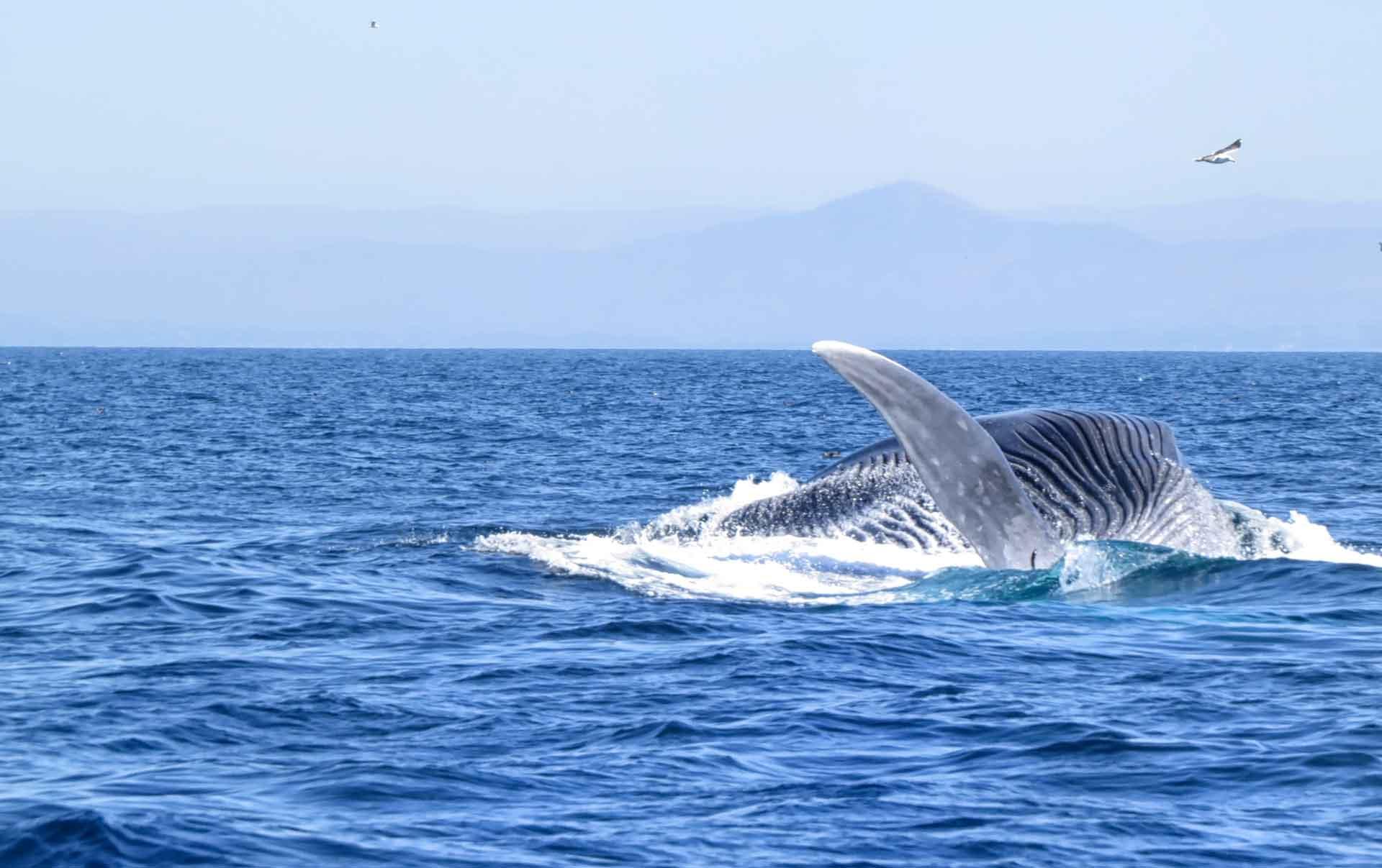 Синий кит питается крилем