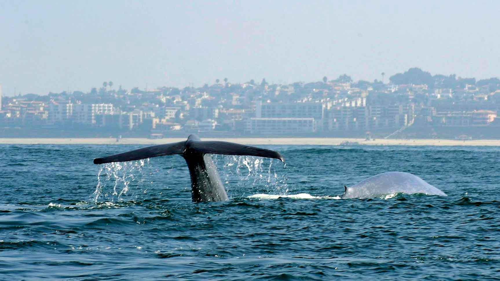 Синий кит ныряет
