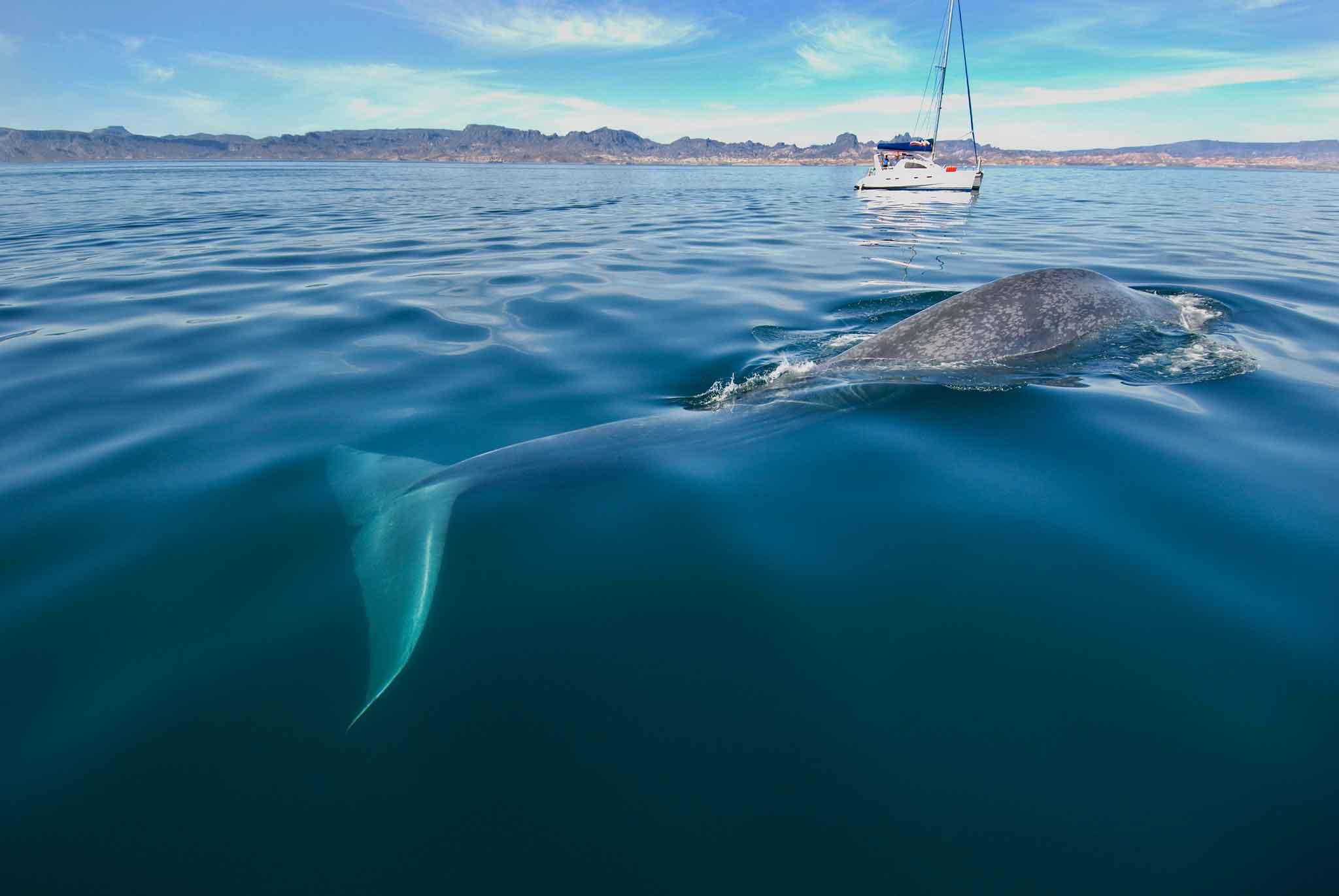 Где обитает синий кит
