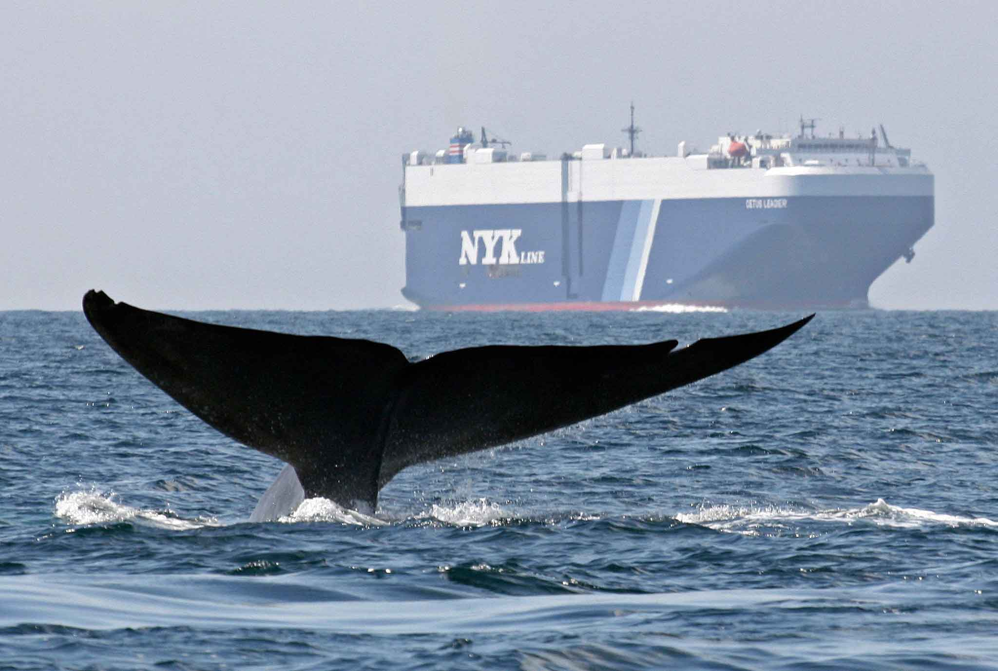 Синим китам мешает судоходство