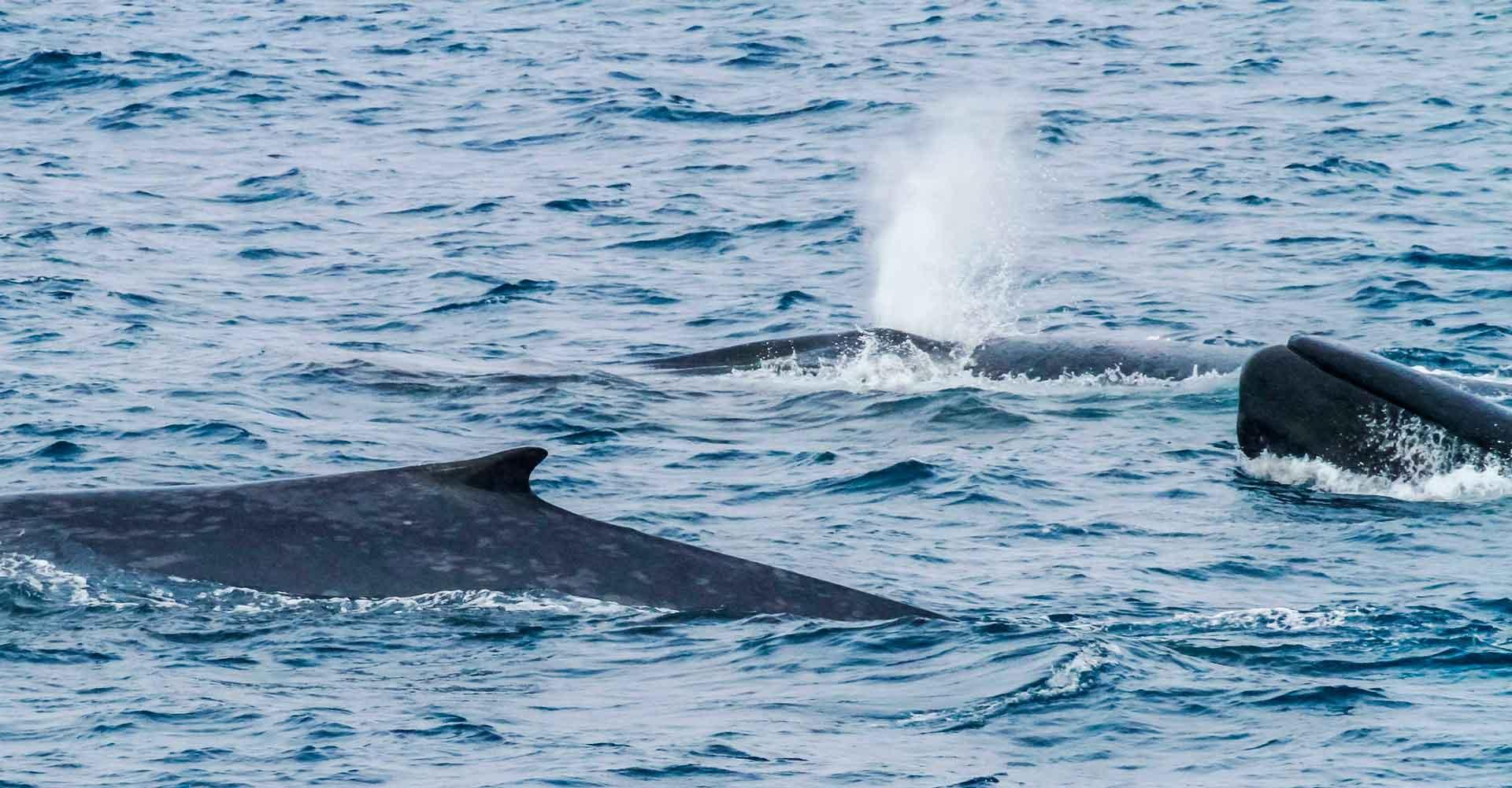 Стая синих китов