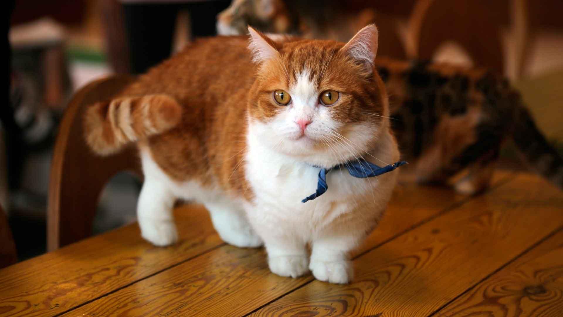 Кошки с короткими лапами: порода Манчкин