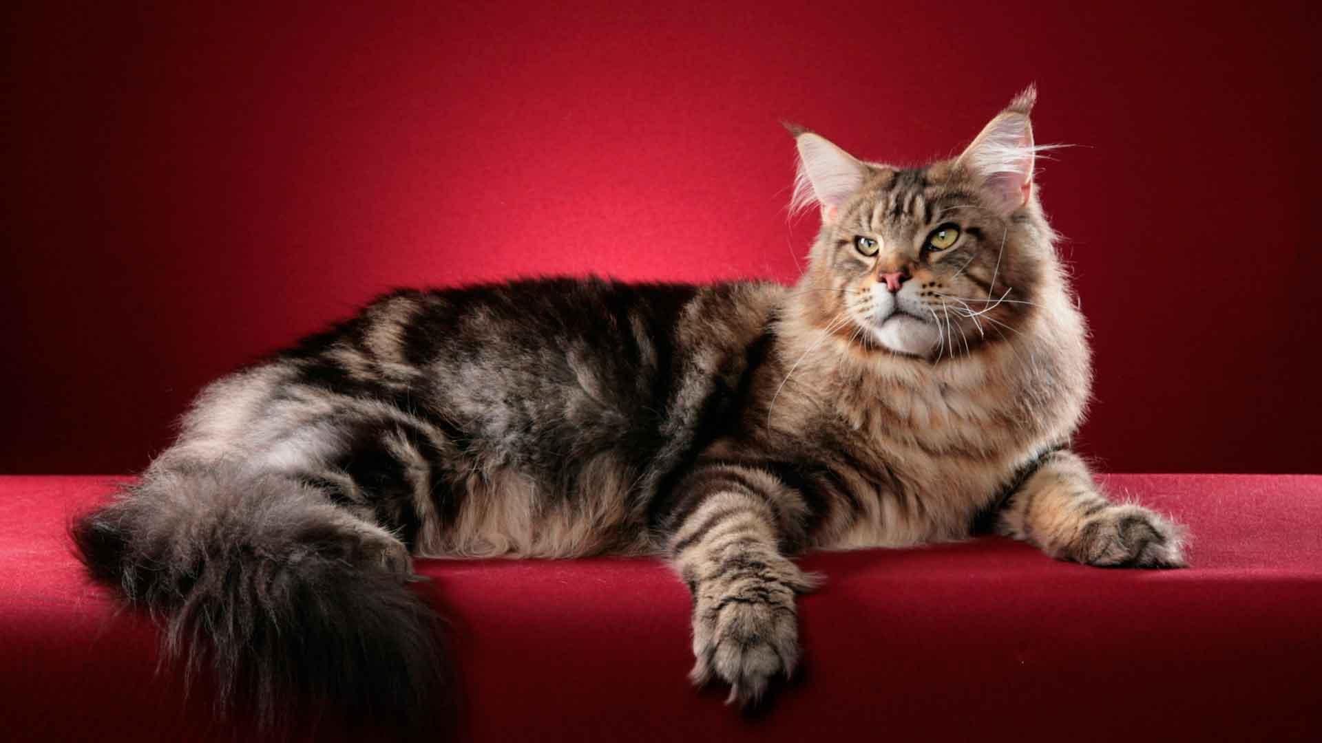 Большие кошки породы мейн кун фото
