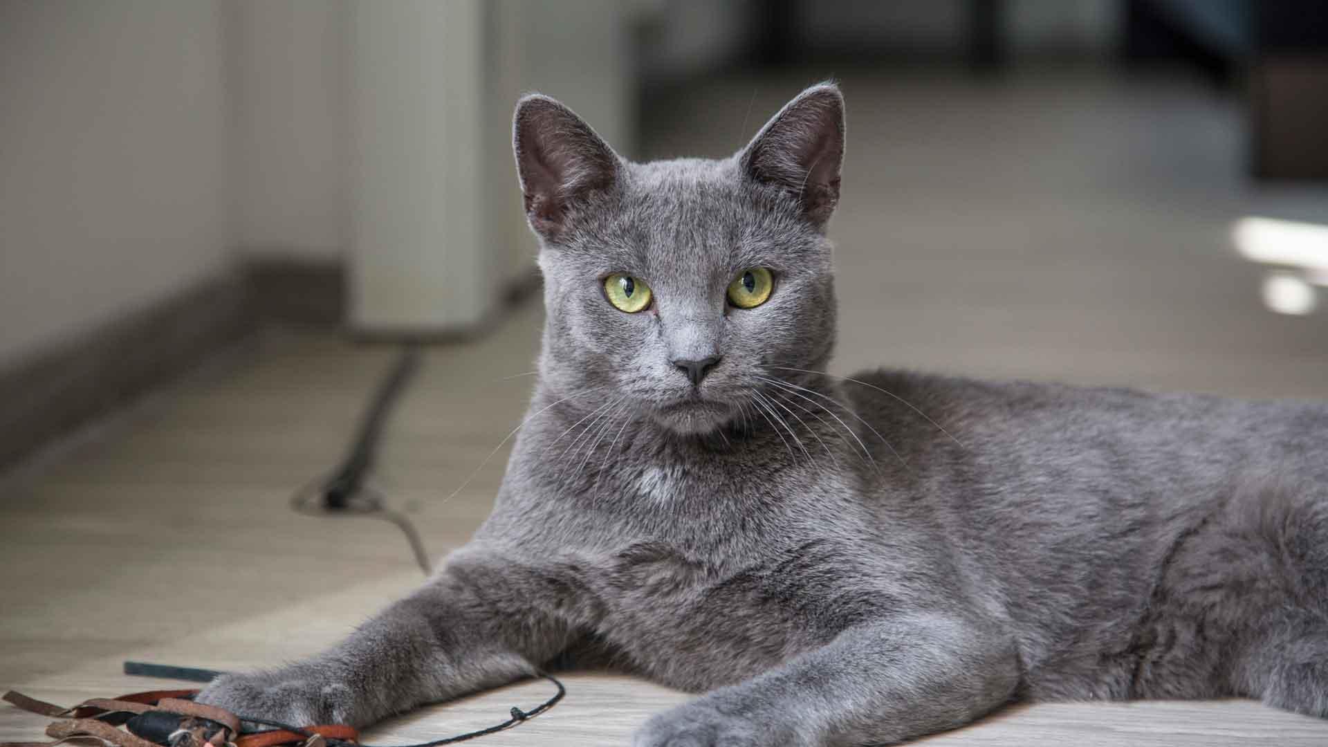 фото кошек русская голубая