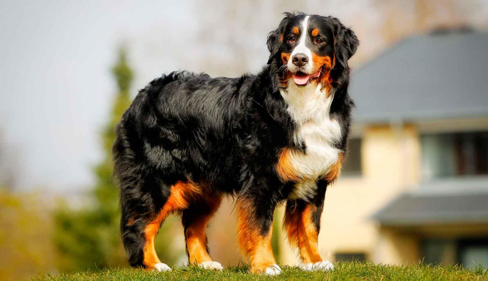 Порода бернский зенненхунд – пастушья собака. Описание и фото бернского зенненхунда