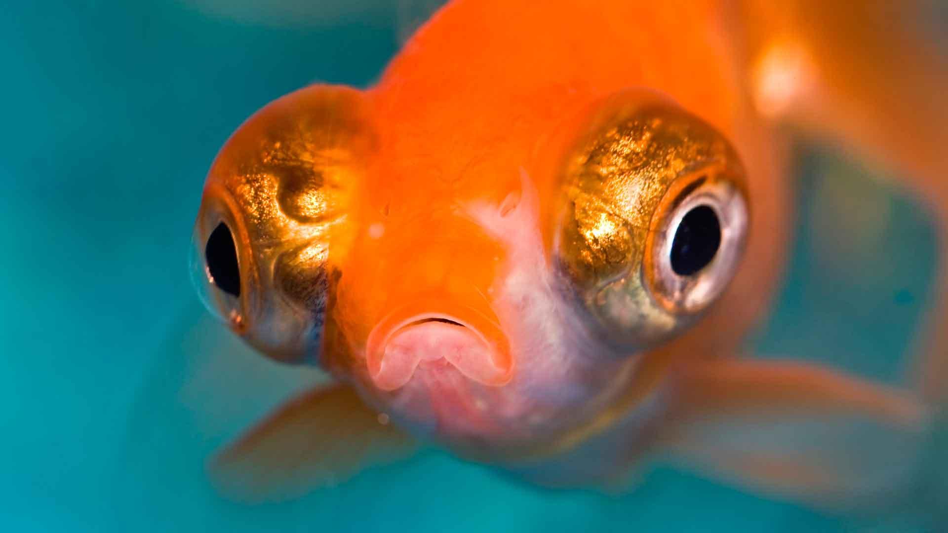 Рыба телескоп выглядит пучеглазой