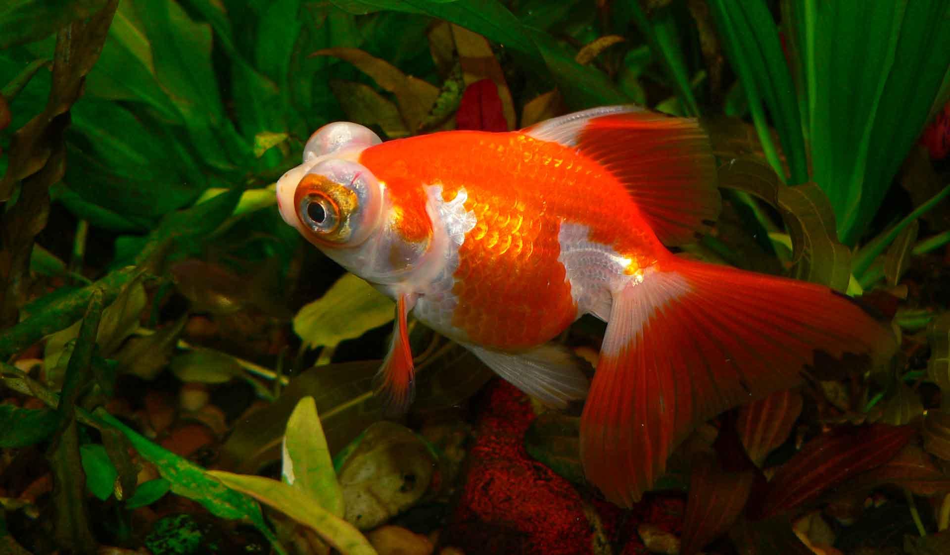 Родина рыбки телескоп - Китай