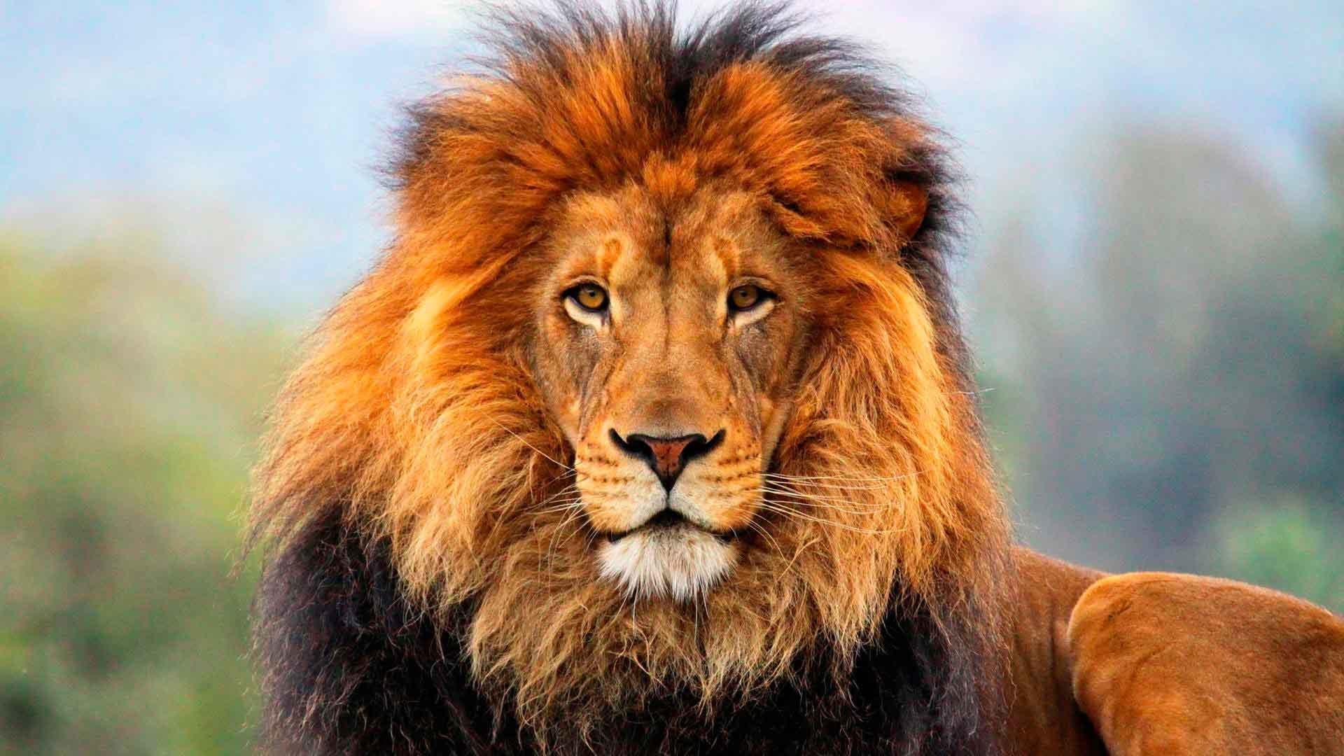 Какой цвет волос у льва