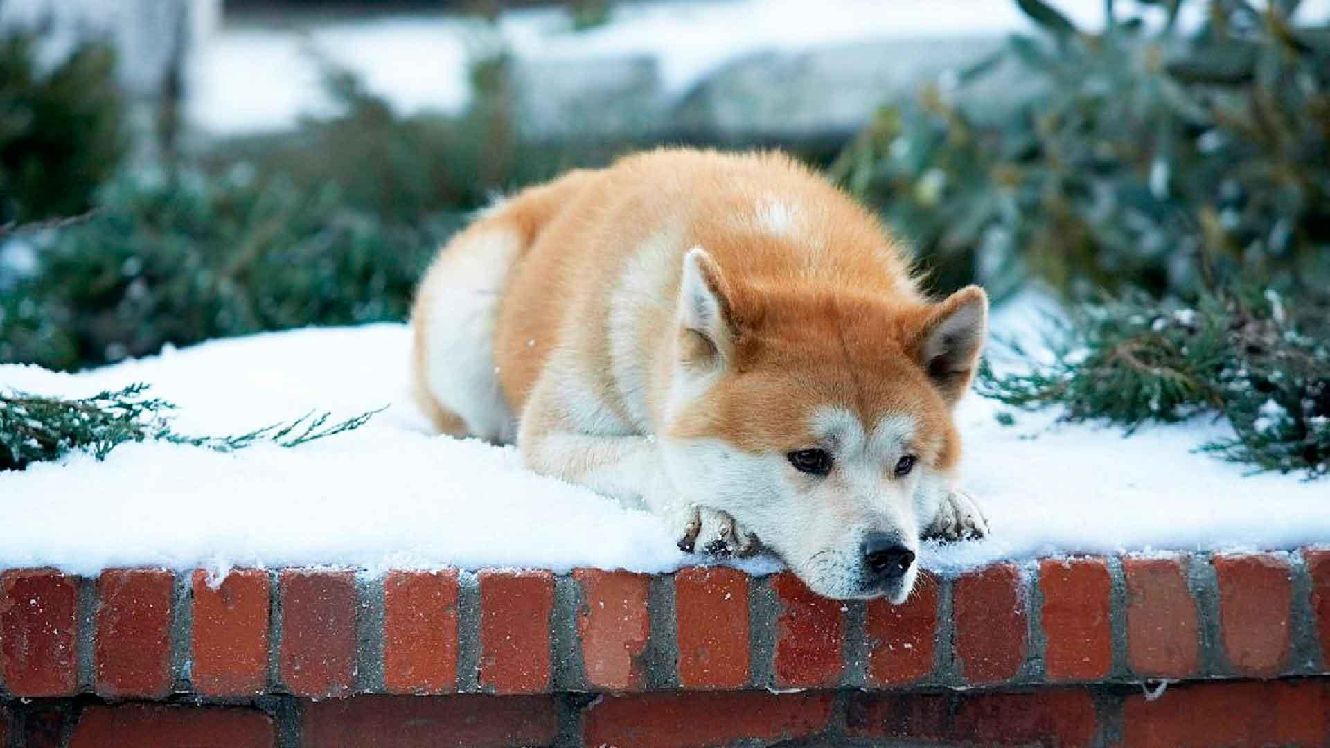 Собака Хатико