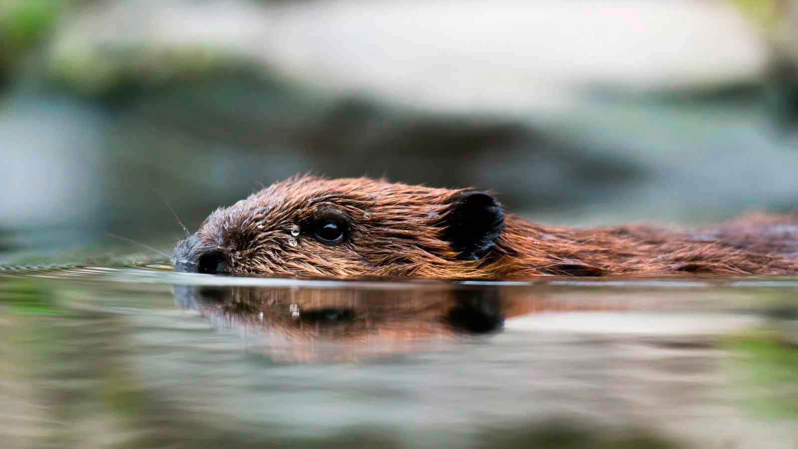 Бобры живут у рек и озер