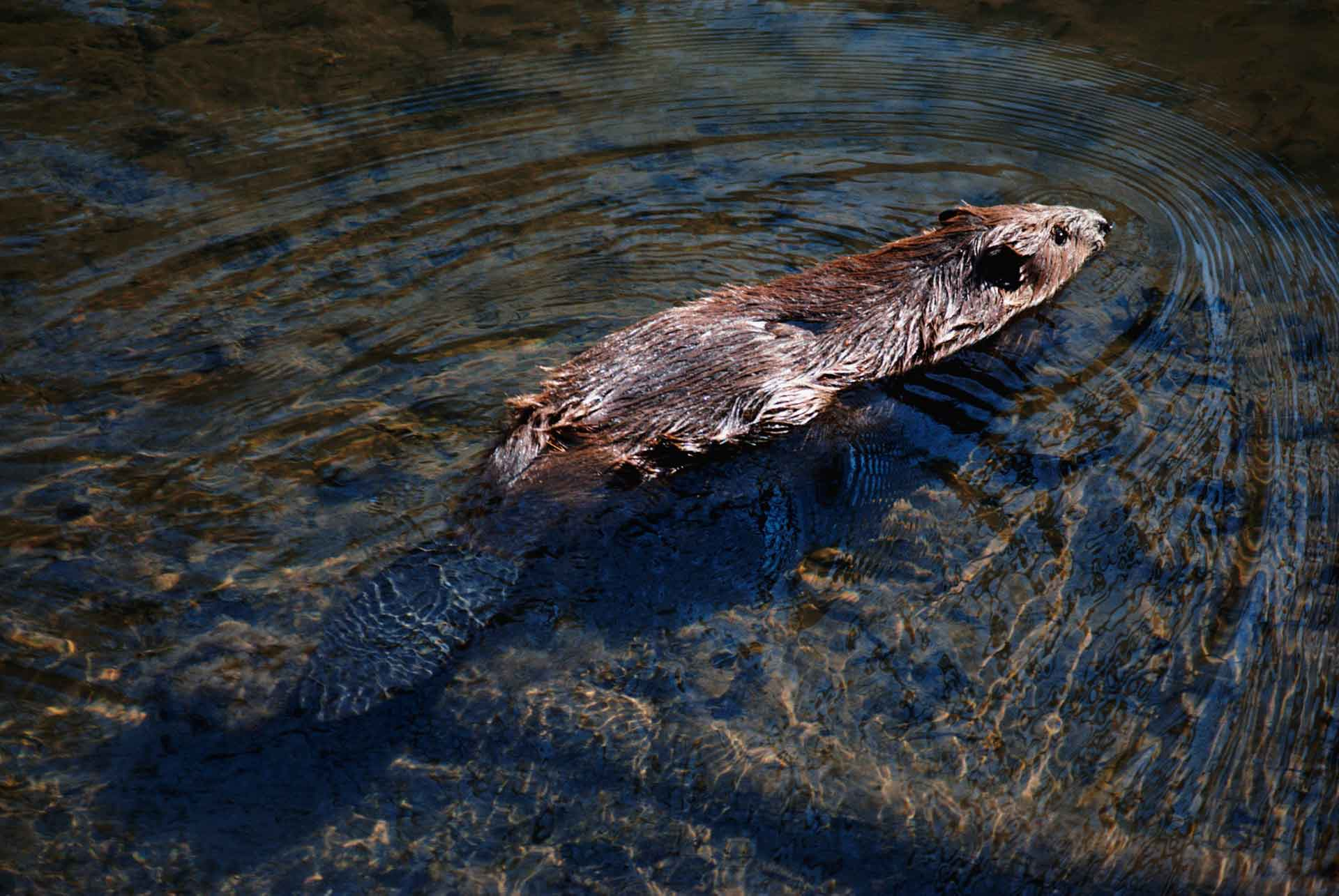 Бобры живут у воды и отлично плавают