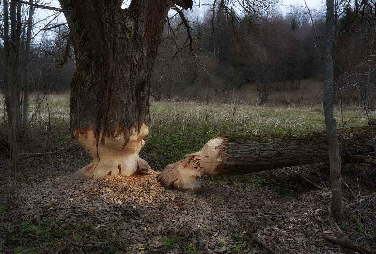 Бобры строят плотину из деревьев