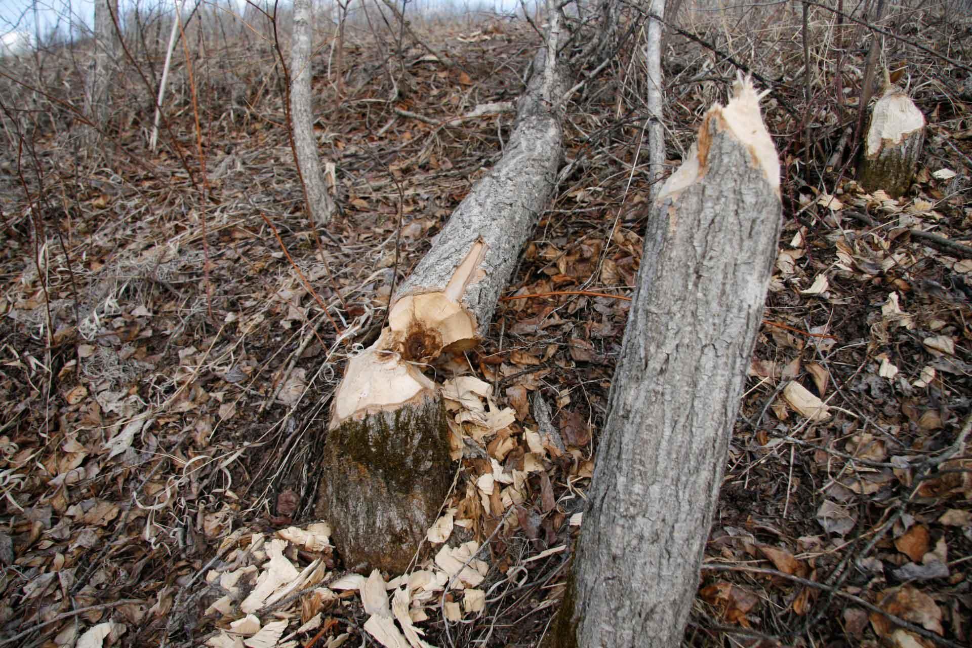 Бобры валят деревья для строительства плотины