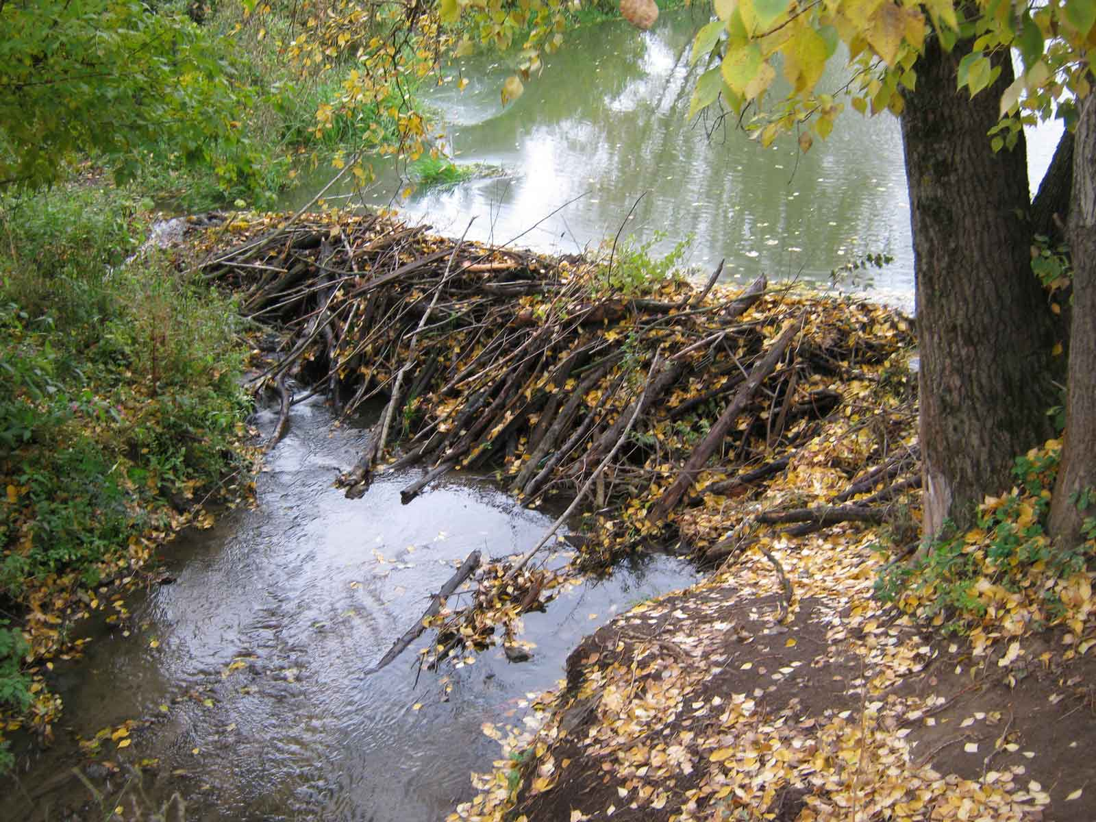 Плотина бобров фото