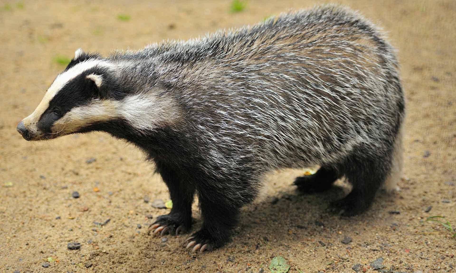 Животное барсук имеет вытянутую морду и короткие лапы