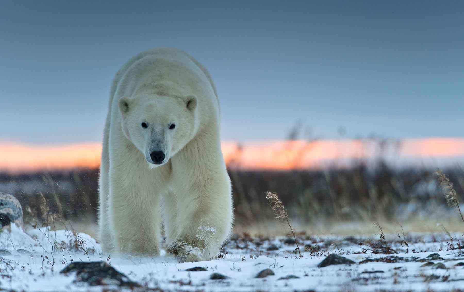 Белый медведь – крупный хищник севера. Описание и фото белого медведя
