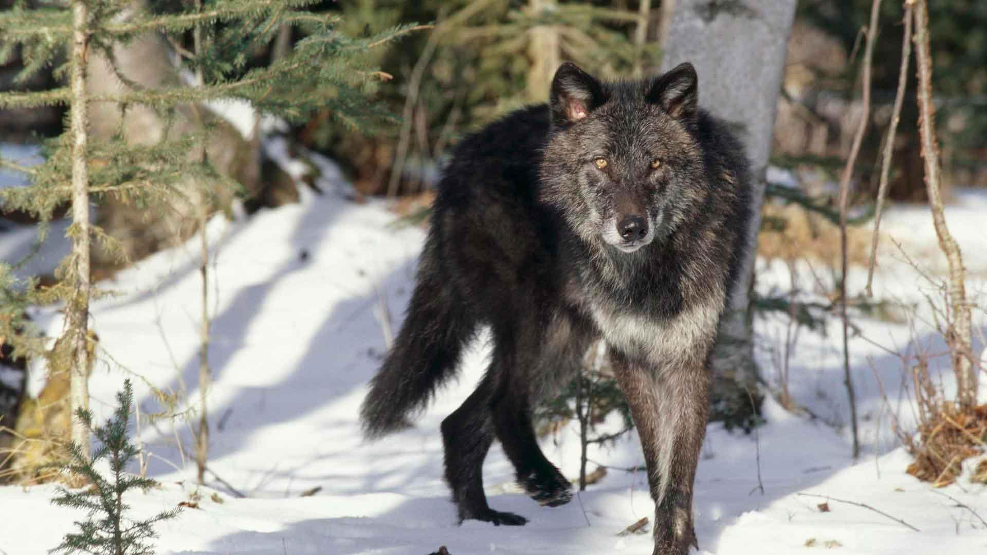 У волка бывает окрас разных цветов
