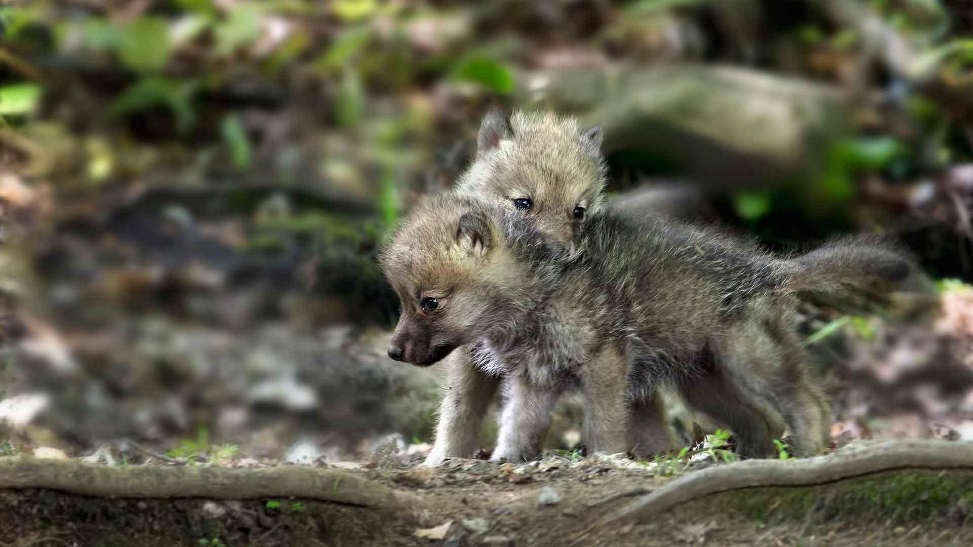 Детеныши волка играют