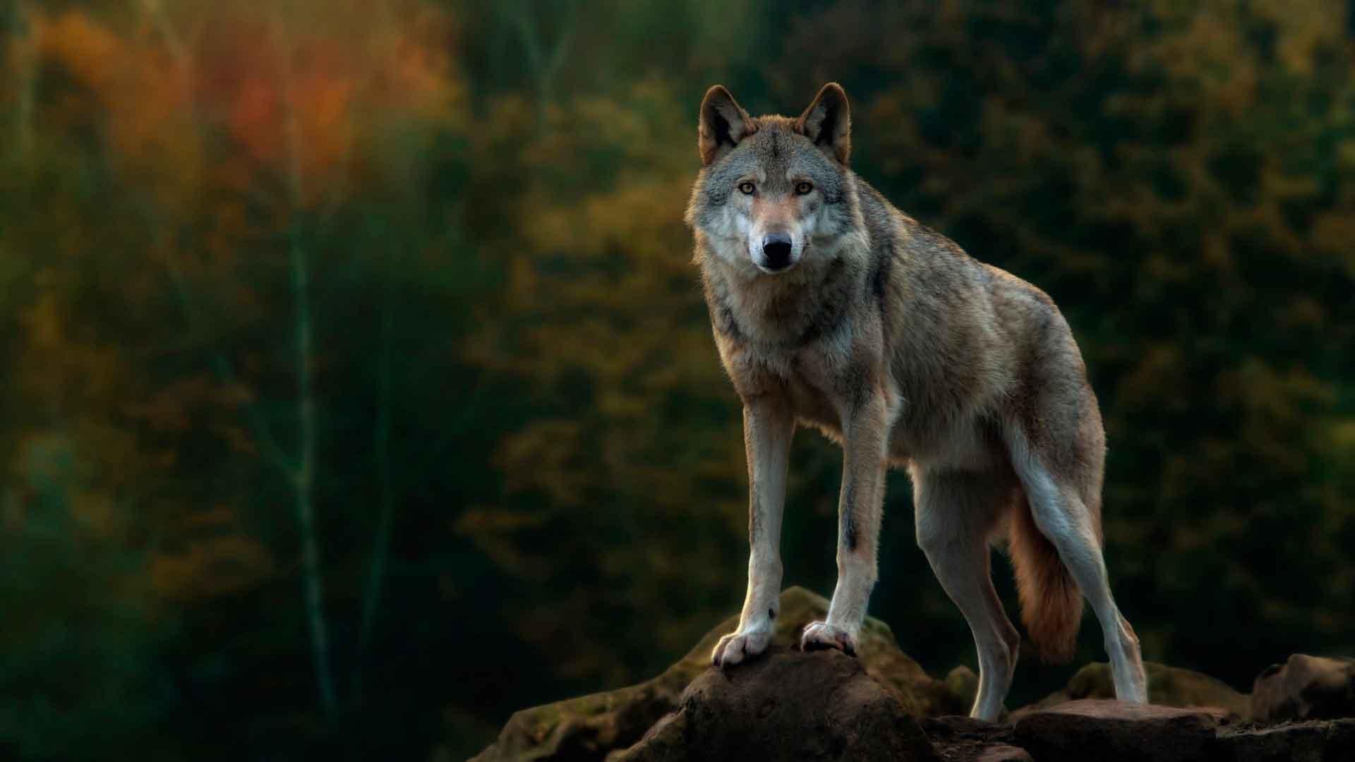 Как выглядит волк