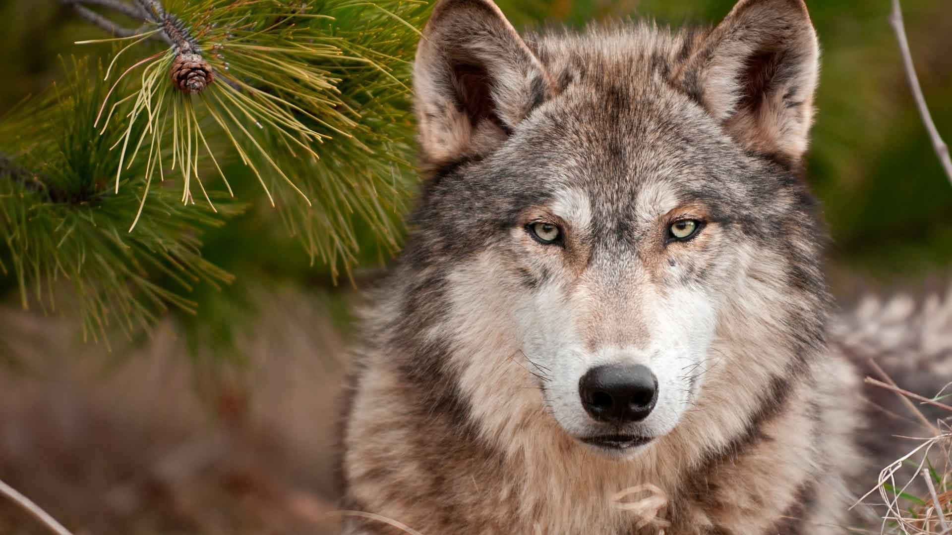 Доклад о диком волке 9709
