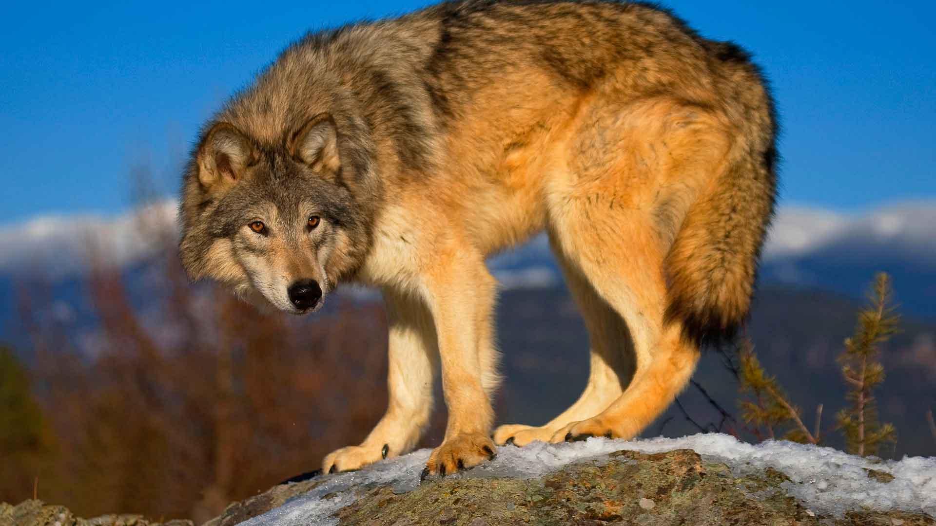 Иногда волки живут одиночно