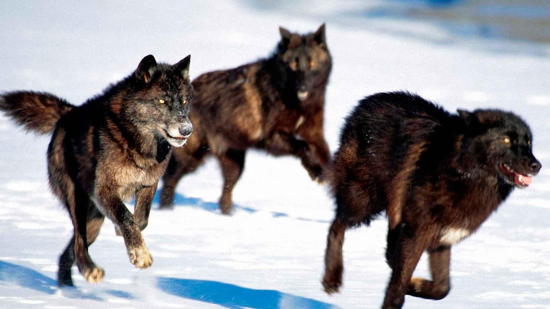 Стая волков охотится