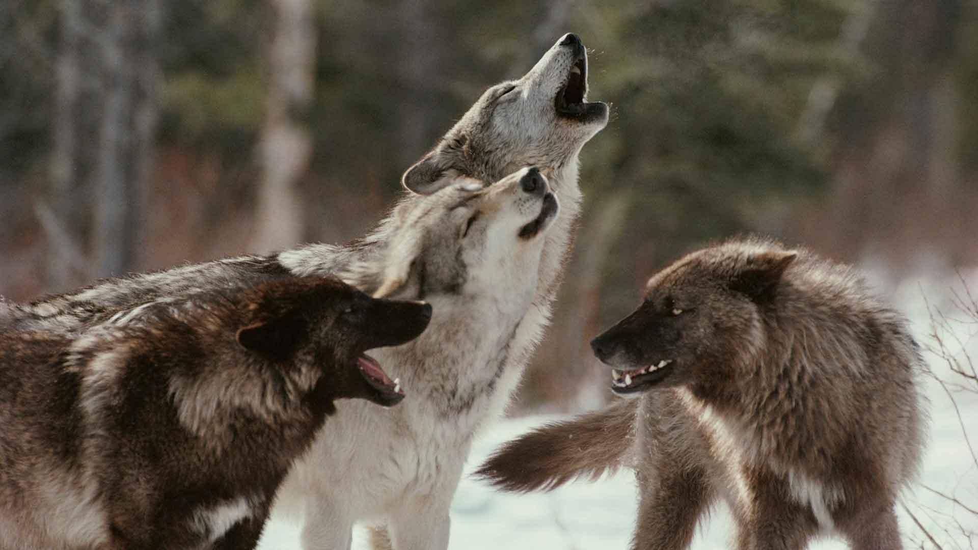 Стая волков воет