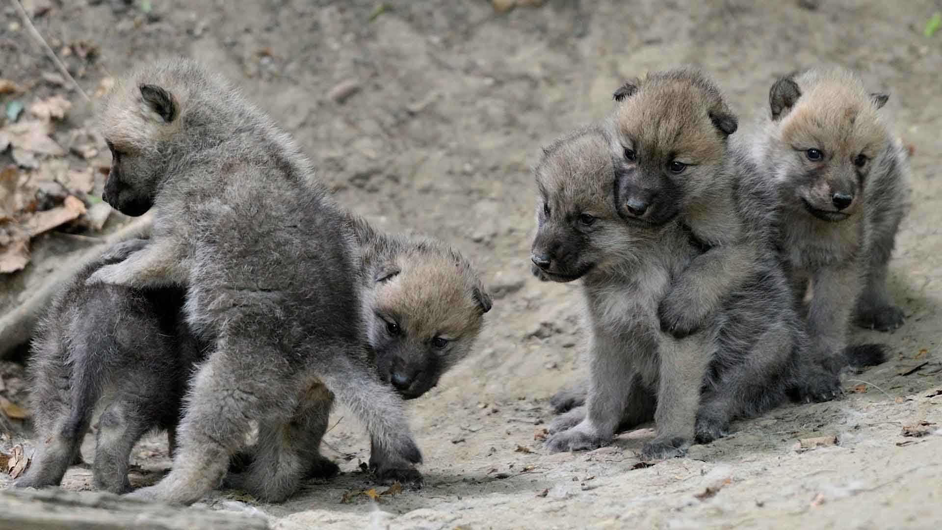 Детеныши волка