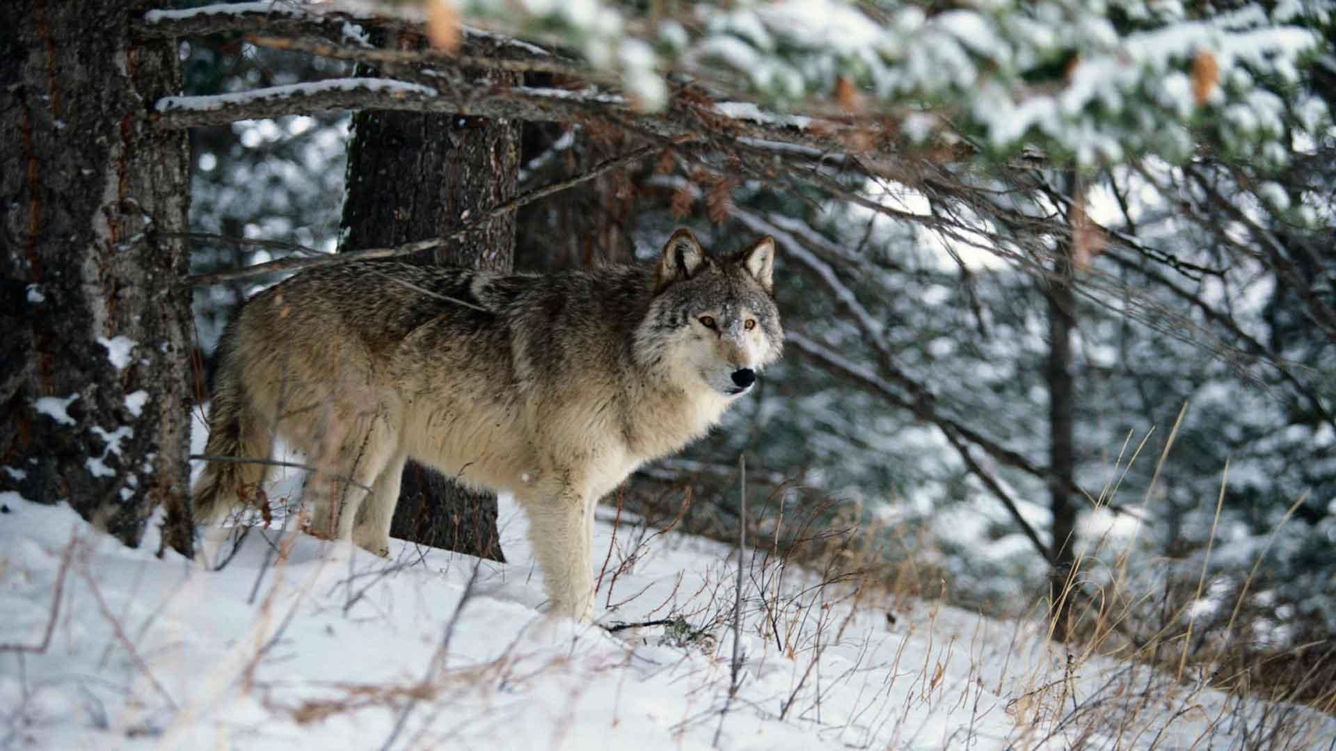 У волка густой и длинный мех