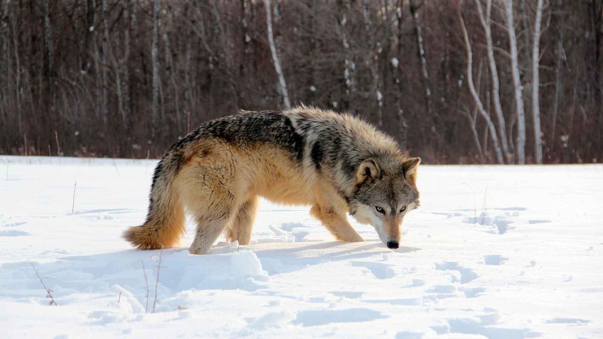 Волк охотится выслеживая добычу