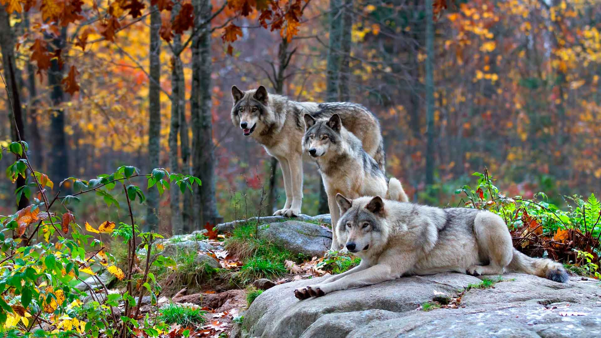 Доклад о диком волке 6773