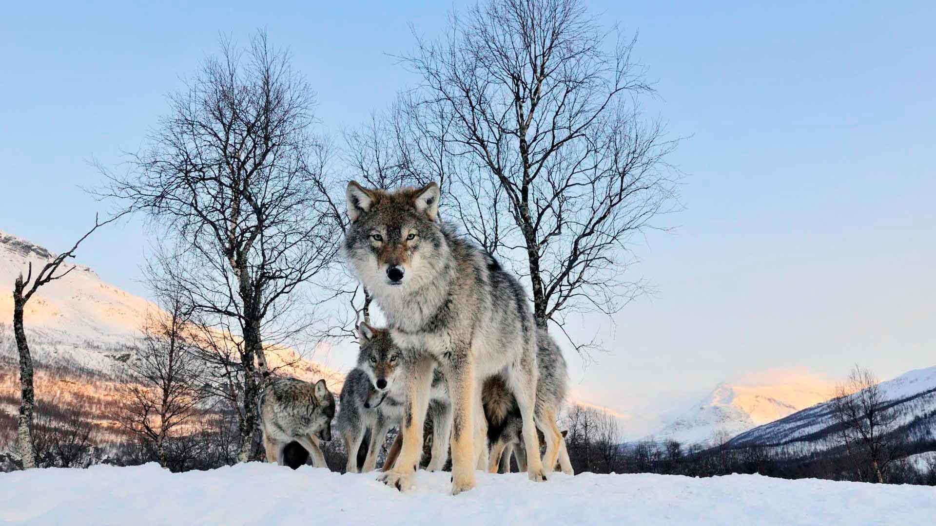 Волк обитает в горах
