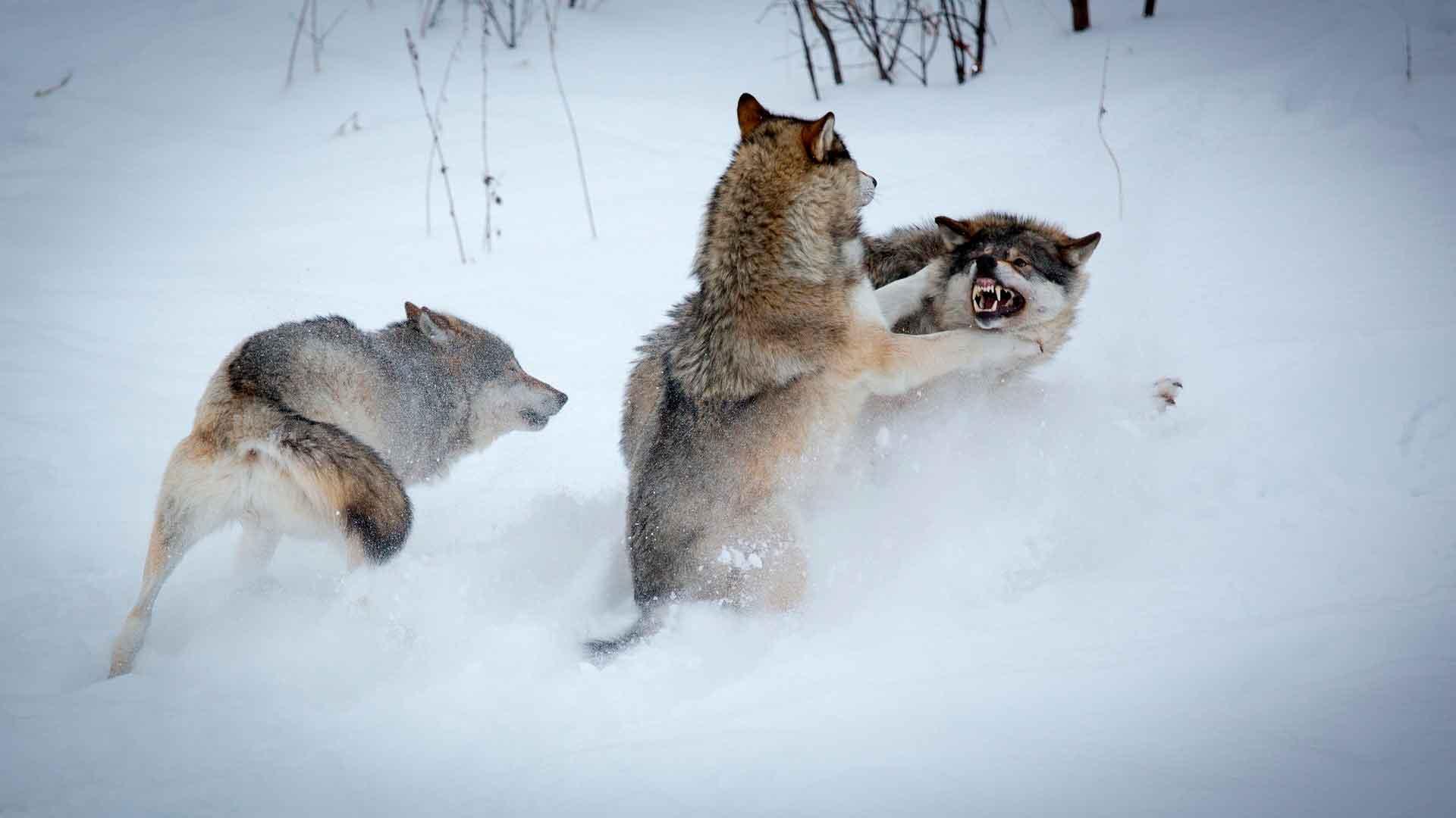 Волки дерутся с чужаком