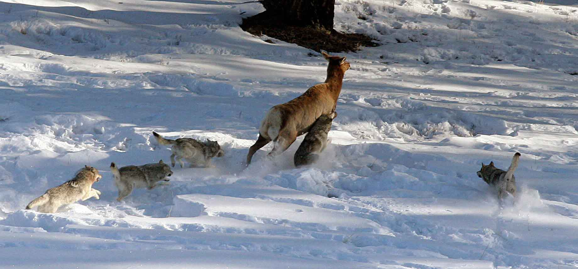 Волки охотятся на оленя