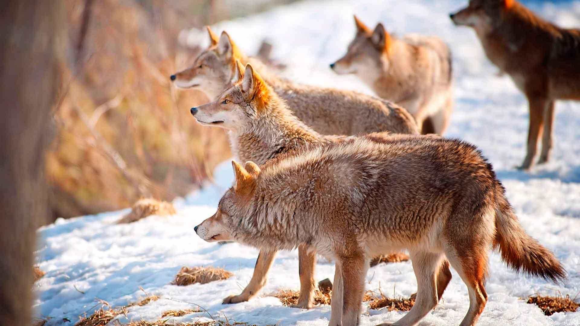 Волки учуяли добычу