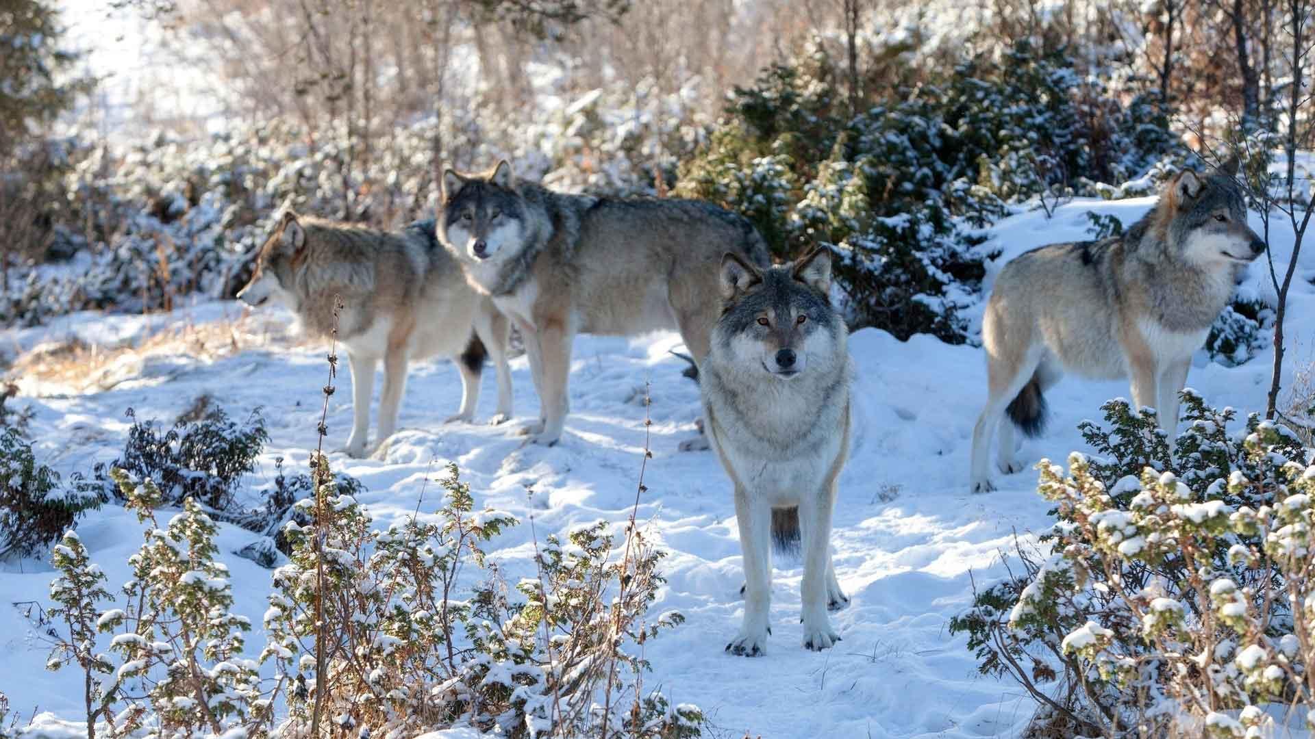 Без детенышей волки живут кочуя