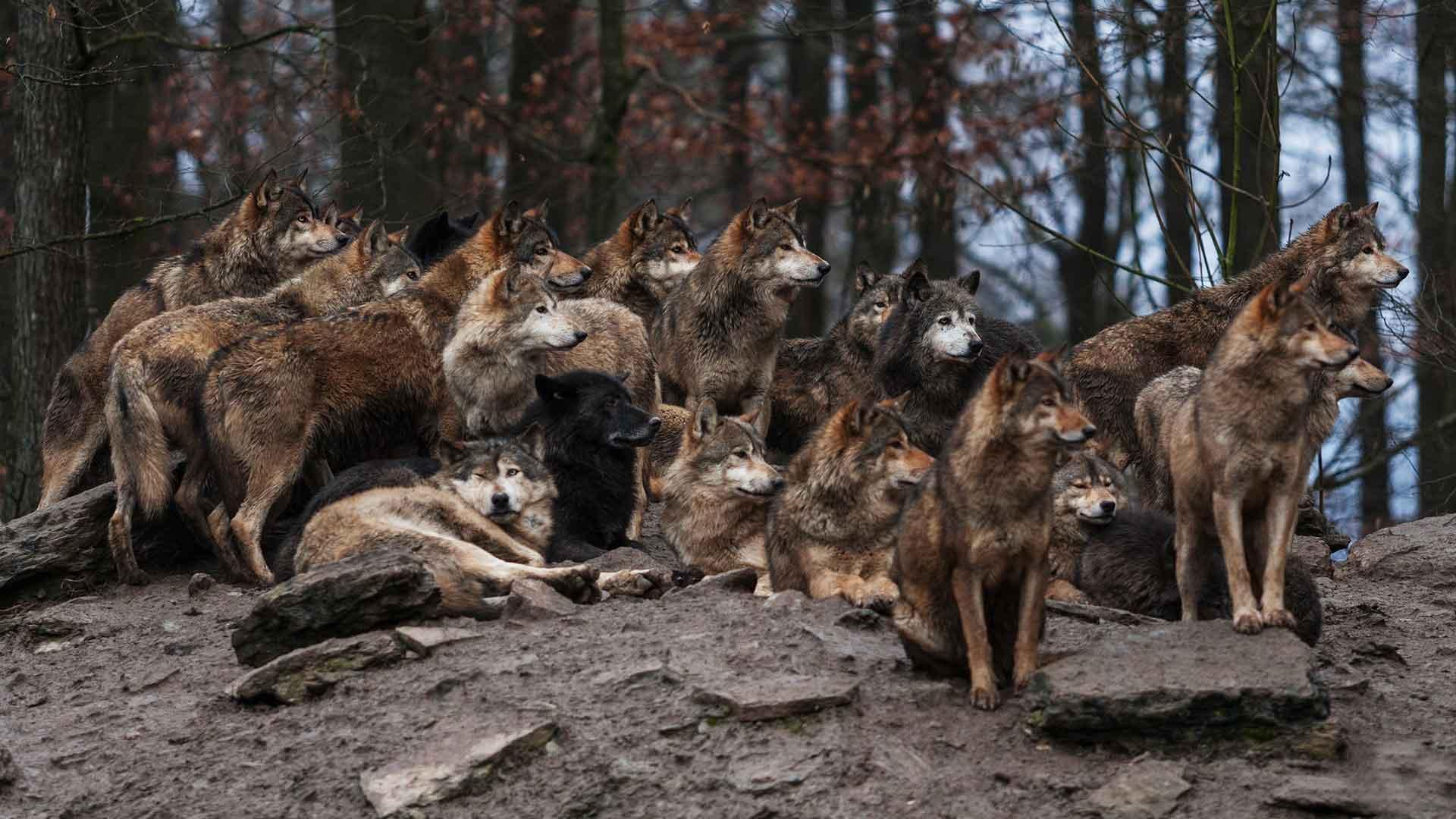 Зачем нужны волки